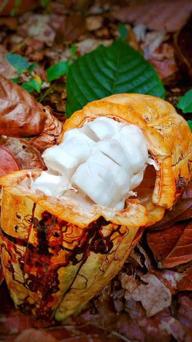 Salcedo chocolate jungle cacao.