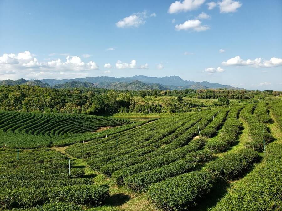 Choui Fong tea plantation, Chiang Rai.